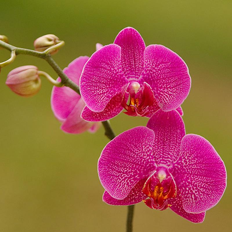phalanaeopsis Orchids